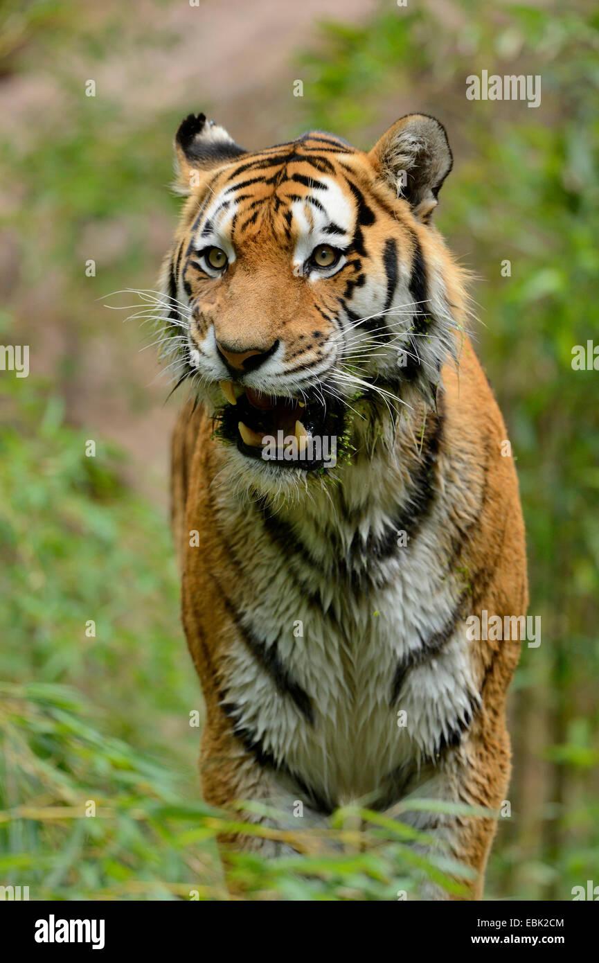 Siberian tiger, Amurian tiger (Panthera tigris altaica), snarling - Stock Image