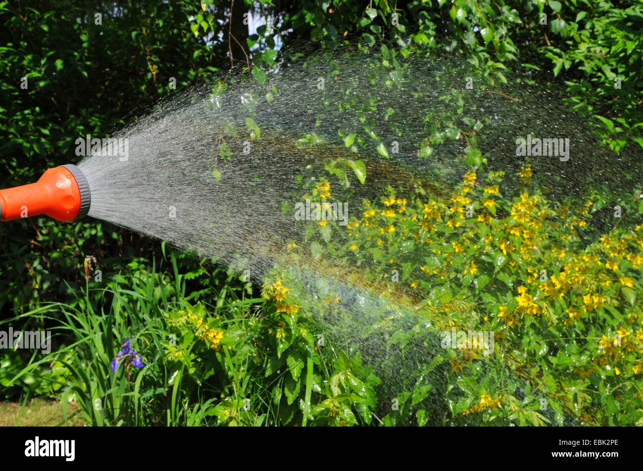 sprinkling flowers and a rainbow appears, Germany, Nordrhein Westfalen - Stock Image