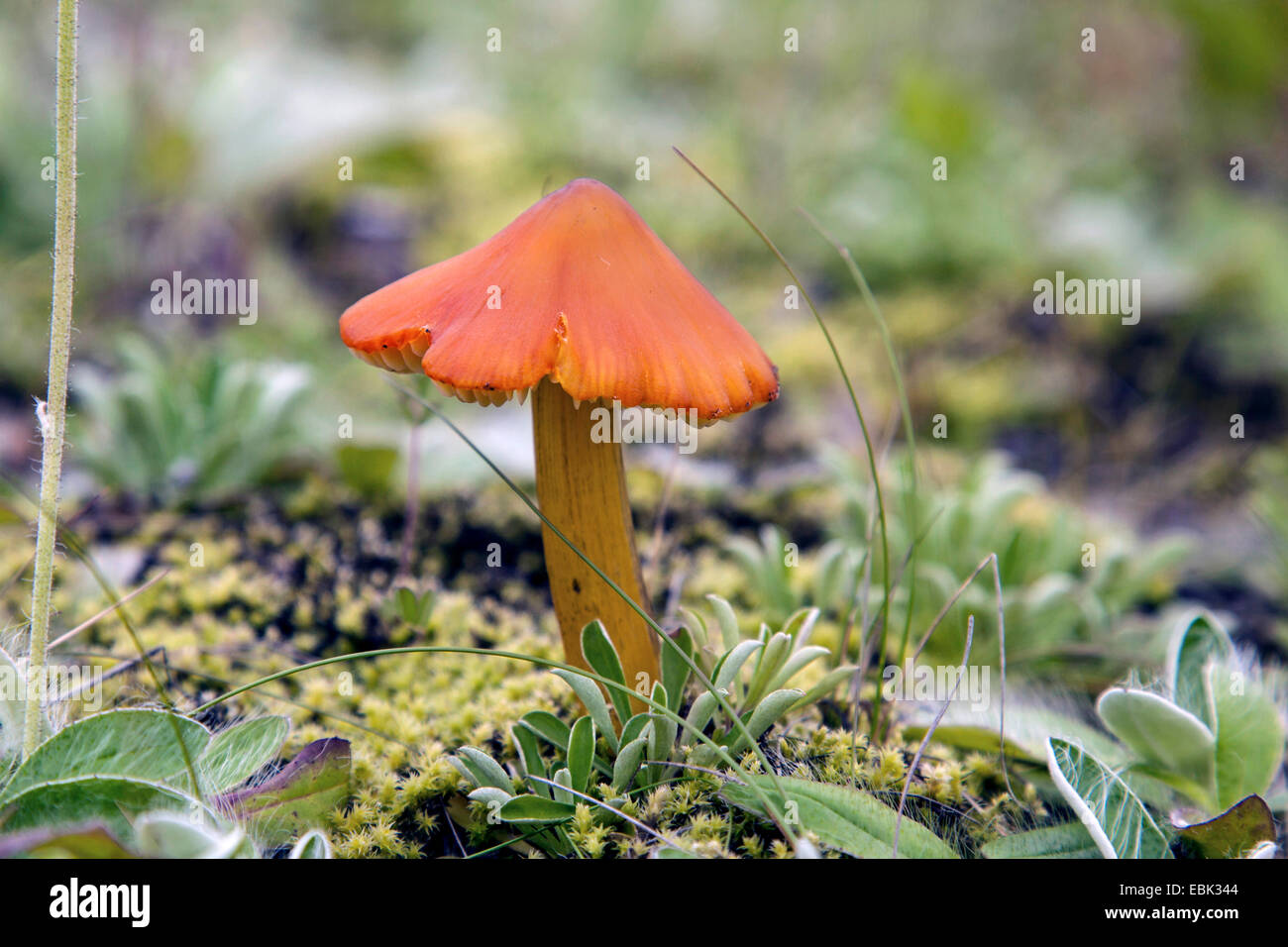 fibrecap (Inocybe spec.), Russia, Oblast Murmansk, Kola - Stock Image