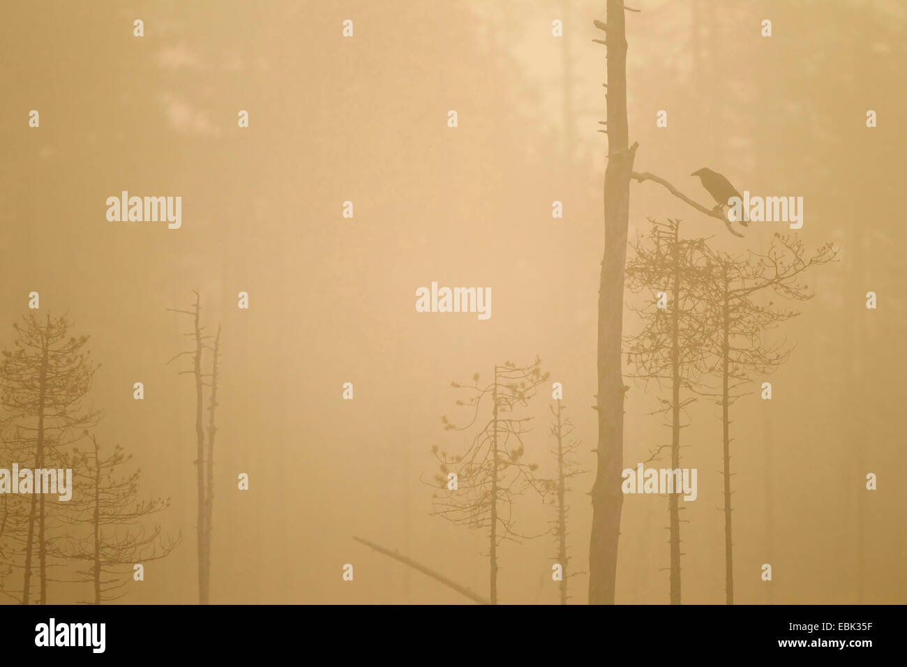 common raven (Corvus corax), silhouetted at dawn in boreal forest, Finland, Kuhmo - Stock Image