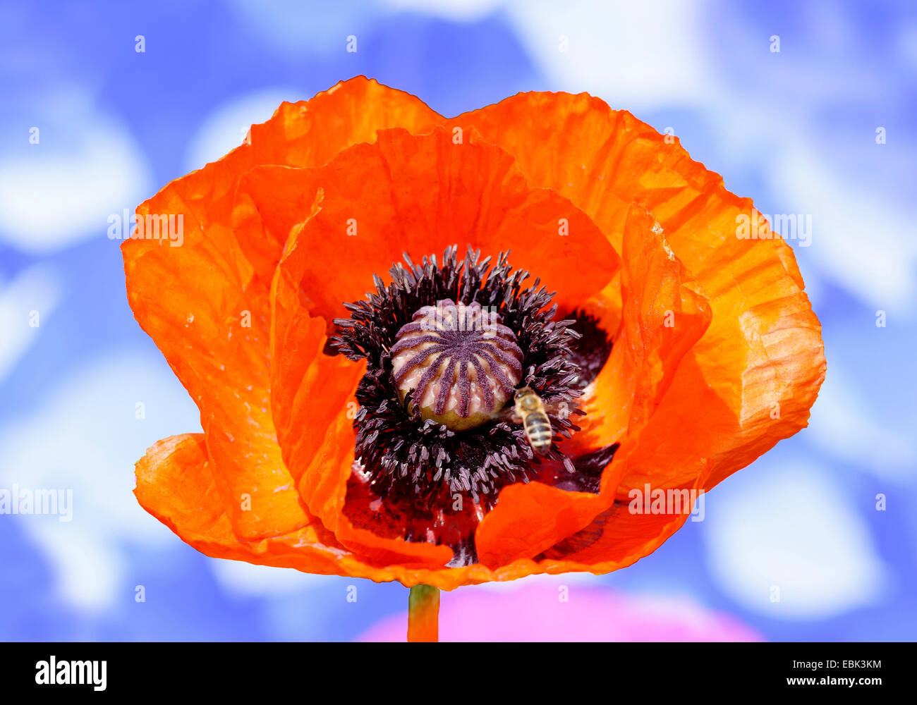 Common poppy, Corn poppy, Red poppy (Papaver rhoeas), flower with bee in front of cloudy sky, Germany, Bavaria, - Stock Image