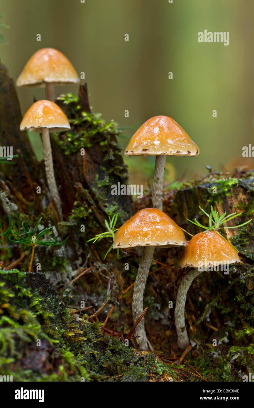 snakeskin brownie (Hypholoma marginatum), five snakeskin brownies, Germany, Schleswig-Holstein - Stock Image