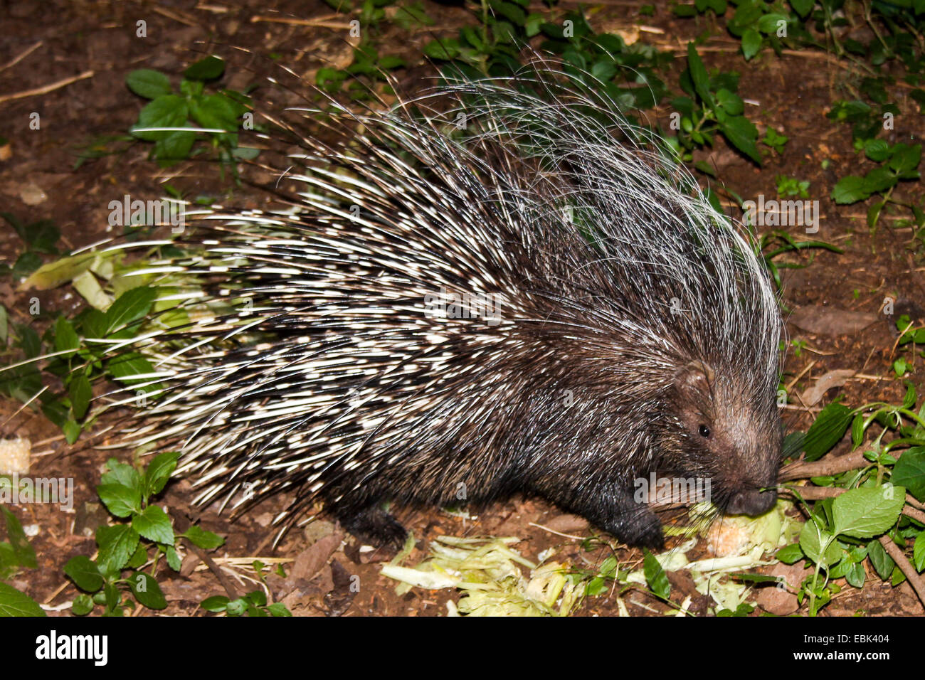 Porcupine in Lilongwe. - Stock Image