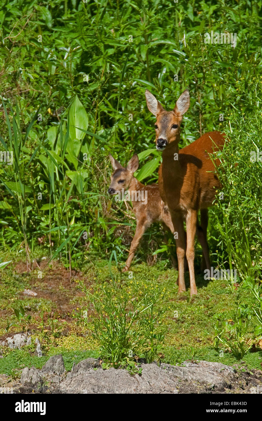 roe deer (Capreolus capreolus), doe with fawn stepping out of a thicket, Germany - Stock Image