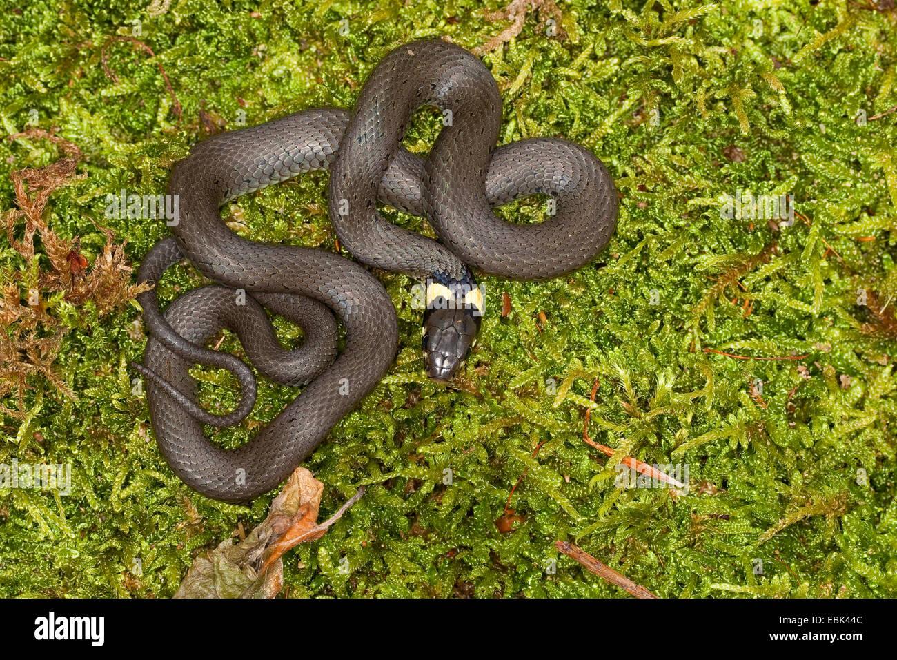 grass snake (Natrix natrix), lying on moss, Germany Stock Photo