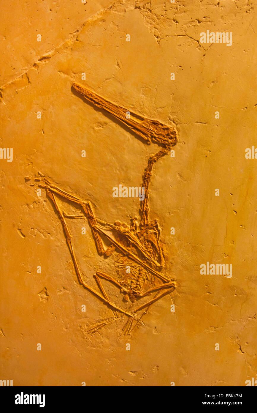 pterosaur (extinct flying reptiles/winged reptiles) (Pterodactylus scolopaciceps), petrification - Stock Image