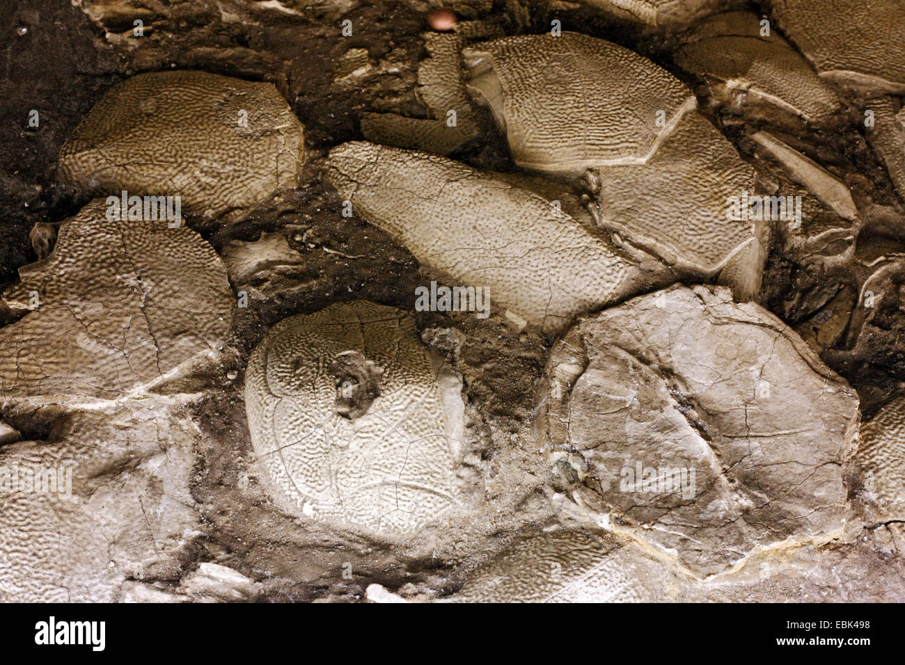 Fossil eggs of a  dinosaur (Bothriolepis maxima) - Stock Image