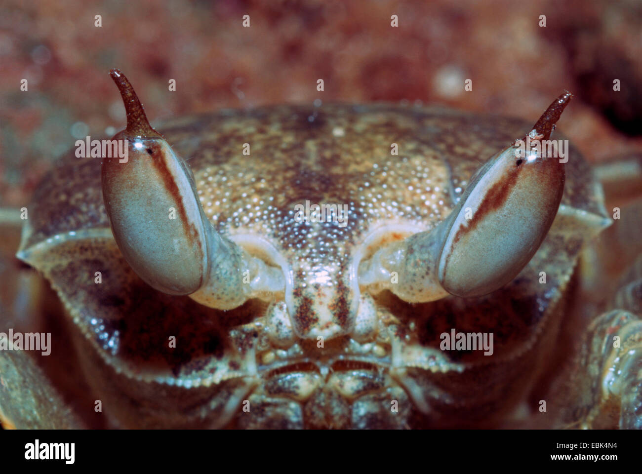 Indo-Pacific ghost crab, horn-eyed ghost crab (Ocypode ceratophthalma), portrait - Stock Image