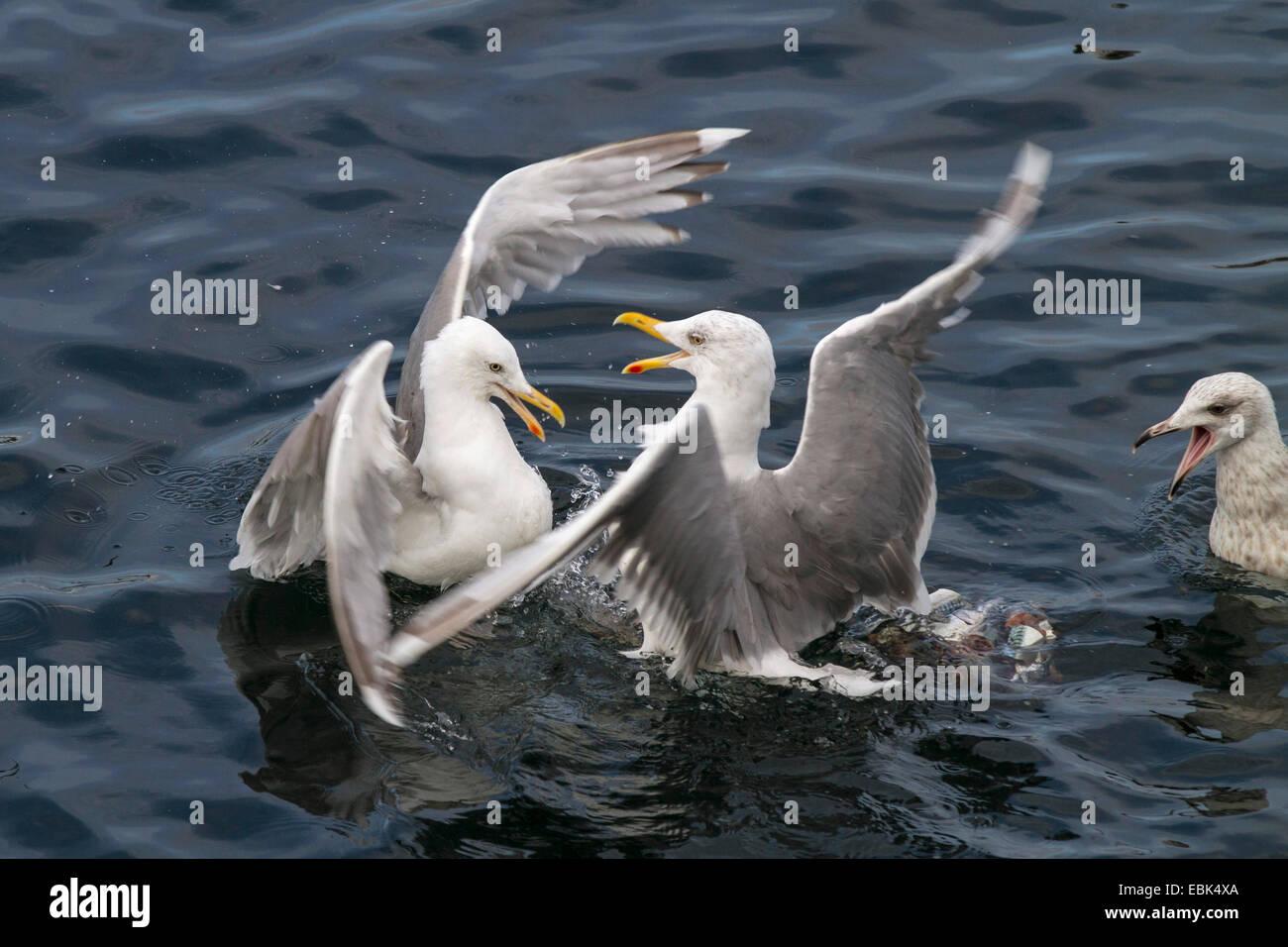 herring gull (Larus argentatus), three birds fighting for prey in the water, Norway, Hitra - Stock Image