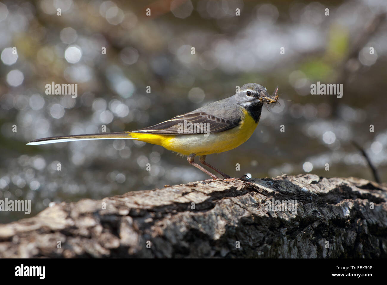grey wagtail (Motacilla cinerea), male with mayfly in its beak, Germany, Bavaria Stock Photo