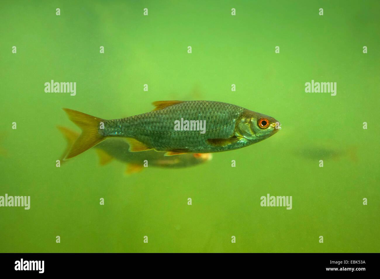 roach, Balkan roach (Rutilus rutilus, Leuciscus rutilus), underwater photo, Germany, Bavaria - Stock Image