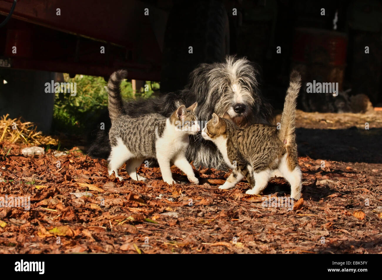 domestic cat, house cat (Felis silvestris f. catus), two cats with dog Stock Photo