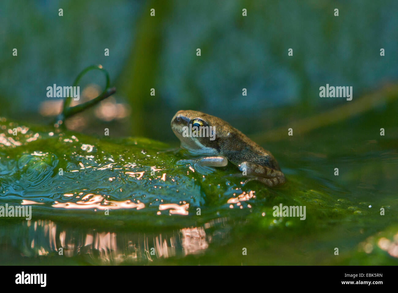 common frog, grass frog (Rana temporaria), leaving water, Germany - Stock Image