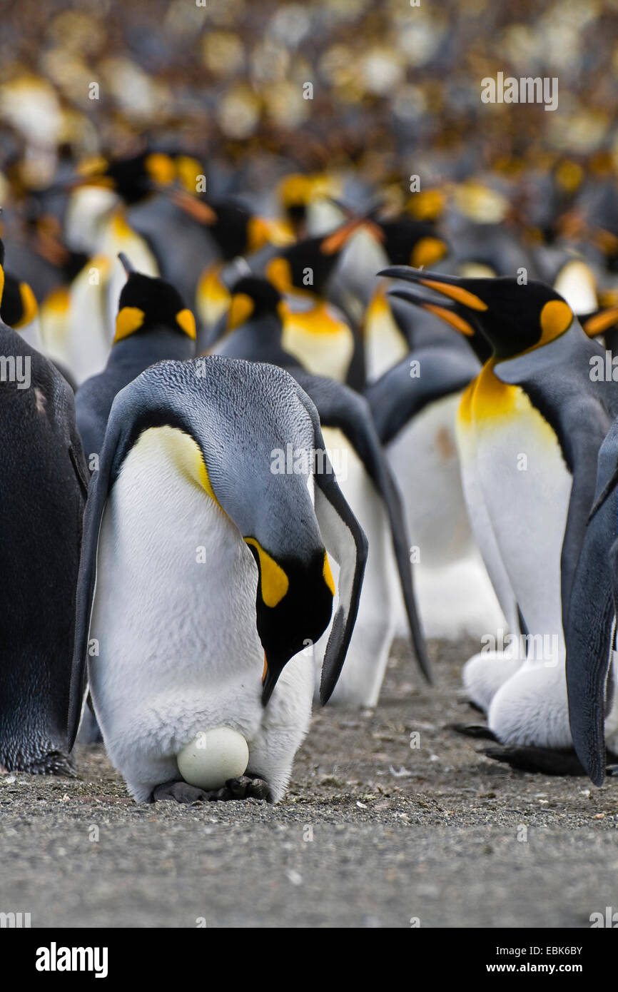 king penguin (Aptenodytes patagonicus), with egg in colony, Suedgeorgien, Gold Harbour - Stock Image