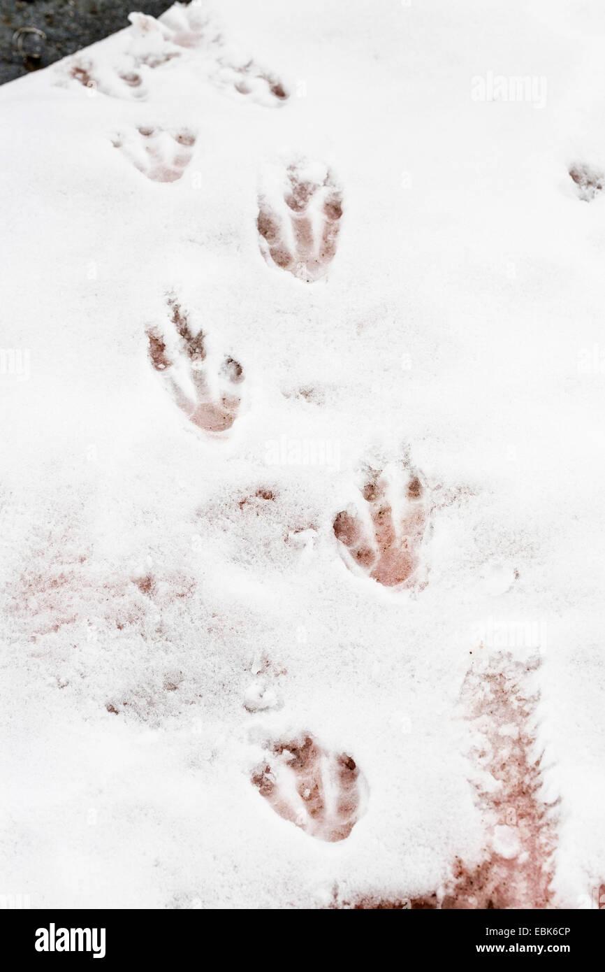gentoo penguin (Pygoscelis papua), footprints in the snow, Antarctica - Stock Image