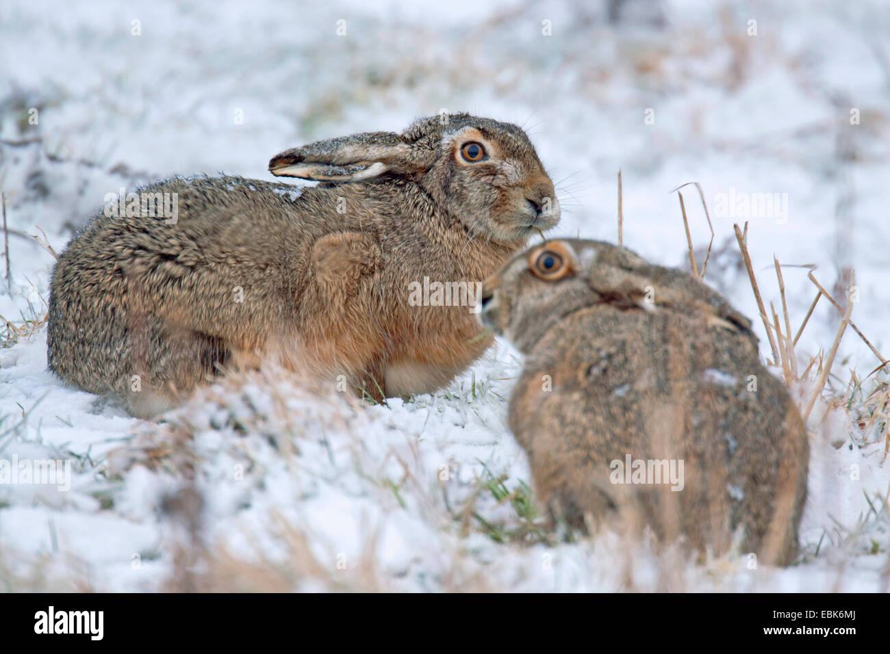 European hare, Brown hare (Lepus europaeus), two hares in a snowy meadow, Germany, Schleswig-Holstein - Stock Image