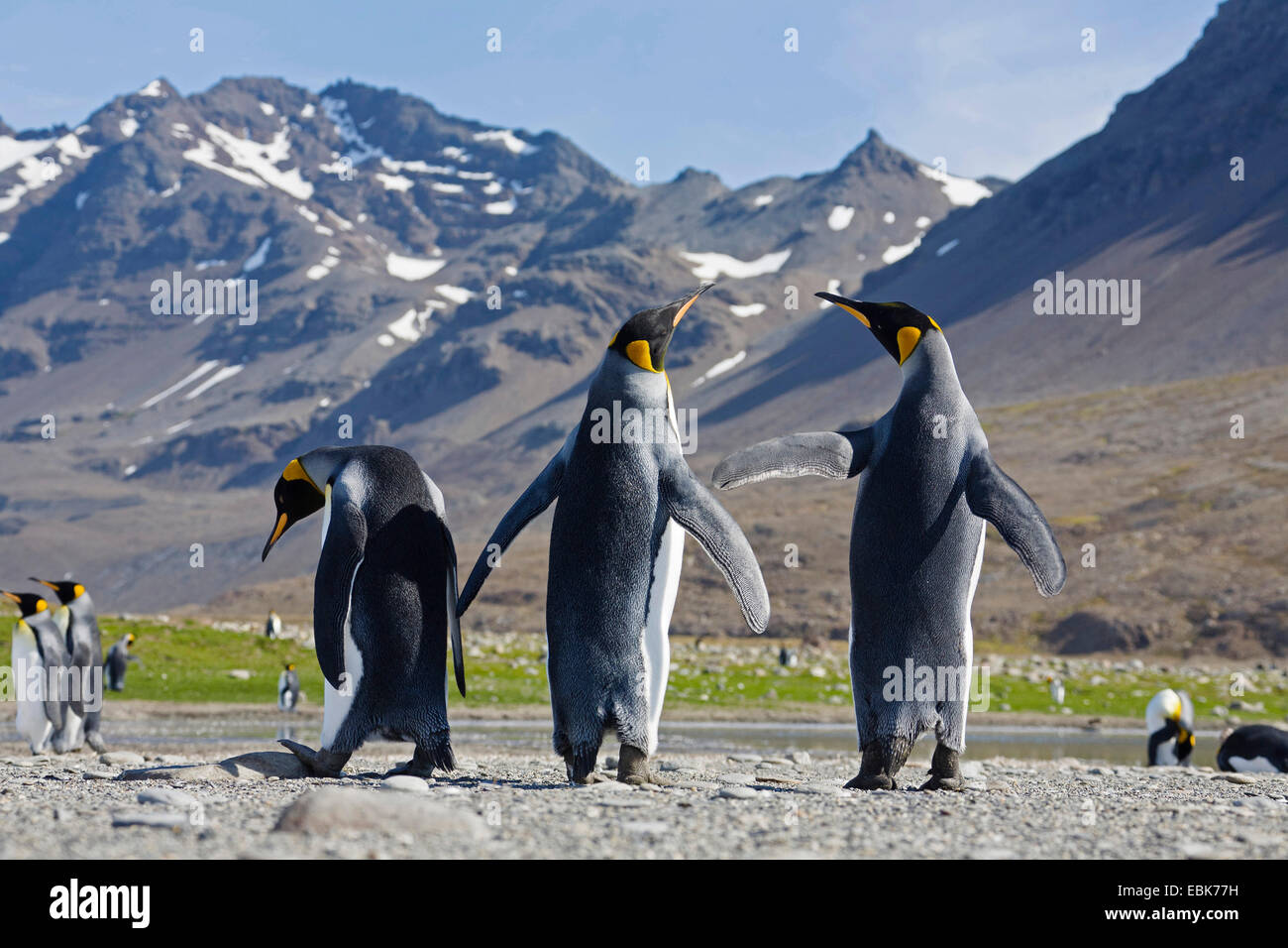 king penguin (Aptenodytes patagonicus), three penguins with outstretched wings, Suedgeorgien, St. Andrews Bay - Stock Image