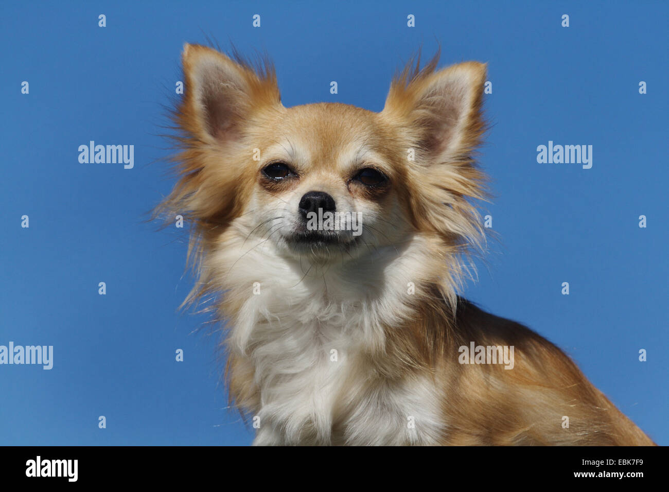 Chihuahua (Canis lupus f. familiaris), portrait - Stock Image
