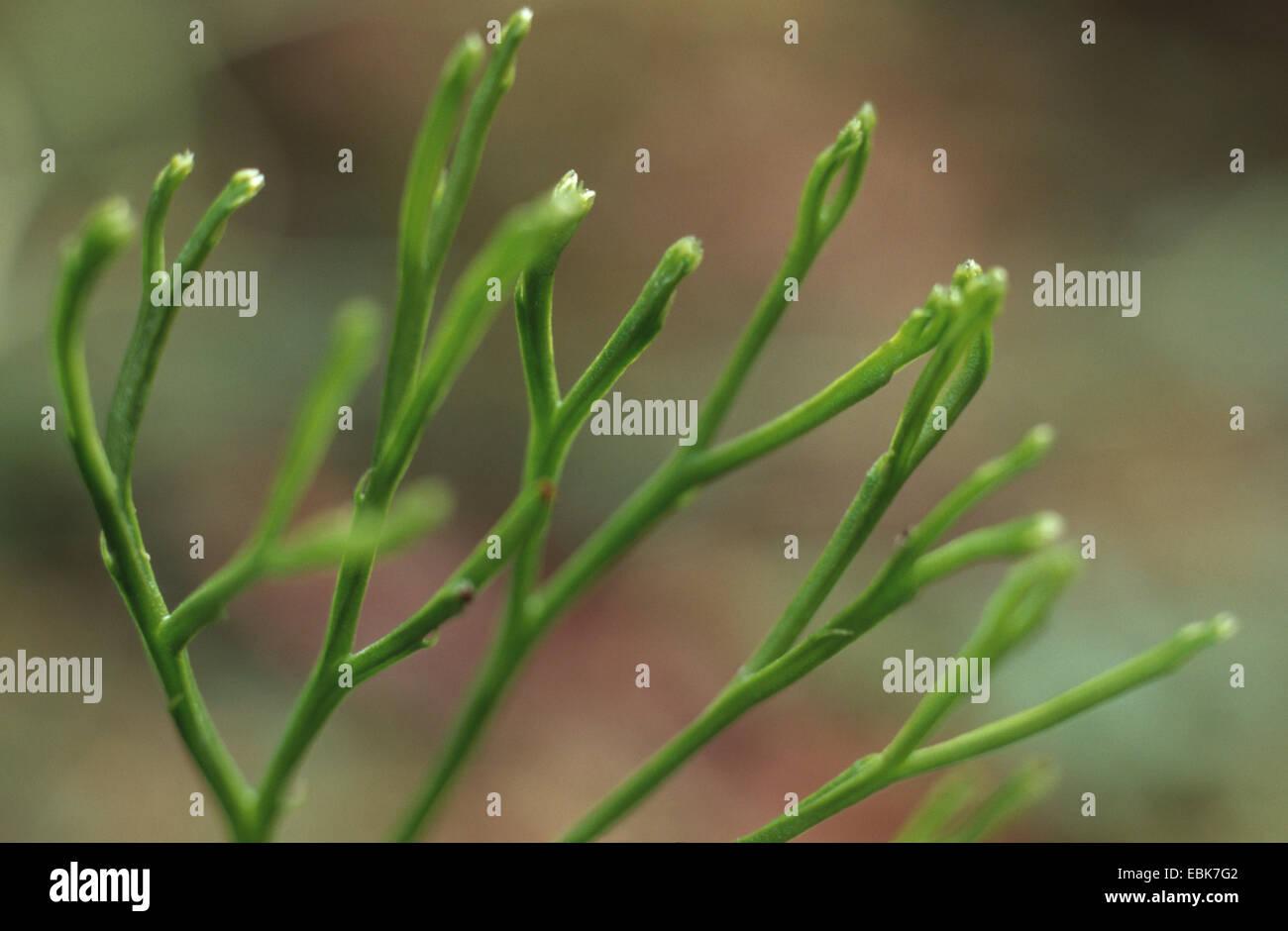 Whisk Fern (Psilotum nudum), branch - Stock Image