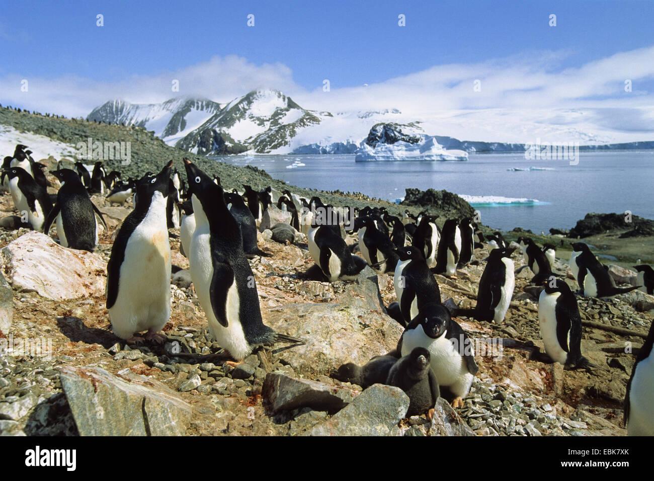 adelie penguin (Pygoscelis adeliae), Adelie Penguins colony, Antarctica, Hope Bay - Stock Image