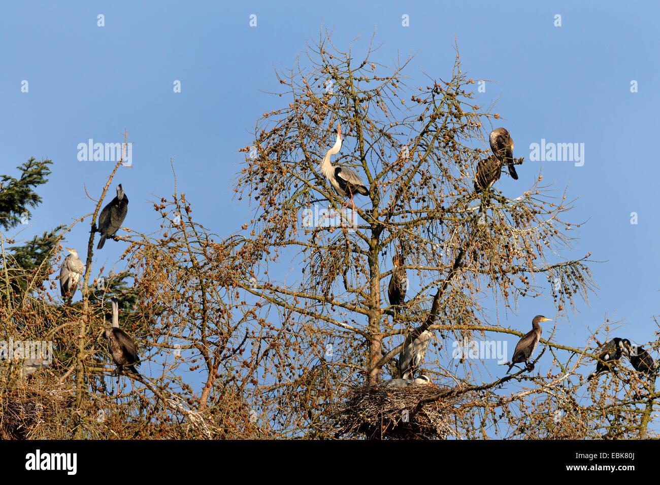 grey heron (Ardea cinerea), cormorans in a colony of grey herons in tree tops, Germany - Stock Image