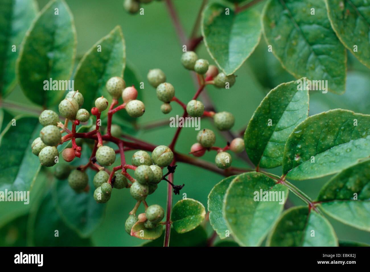 zanthoxylum fraxineum, medical plant, medical plants, medicinal plant, medicinal plants, herbalism, useful plant, - Stock Image