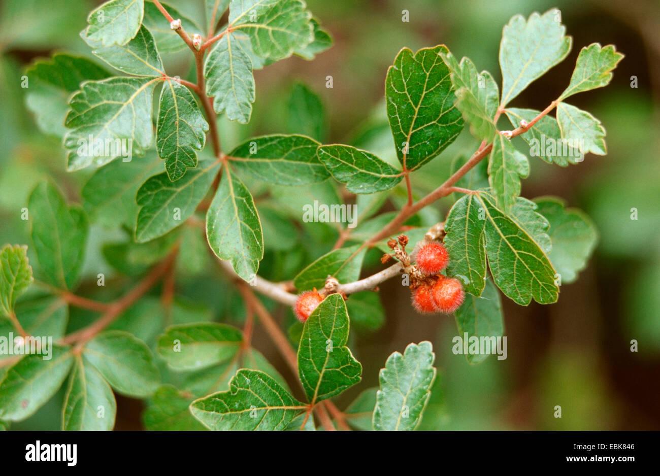 Sweet Sumach, Fragrant Sumac, medical plant, medical plants, medicinal plant, medicinal plants, herbalism, useful - Stock Image
