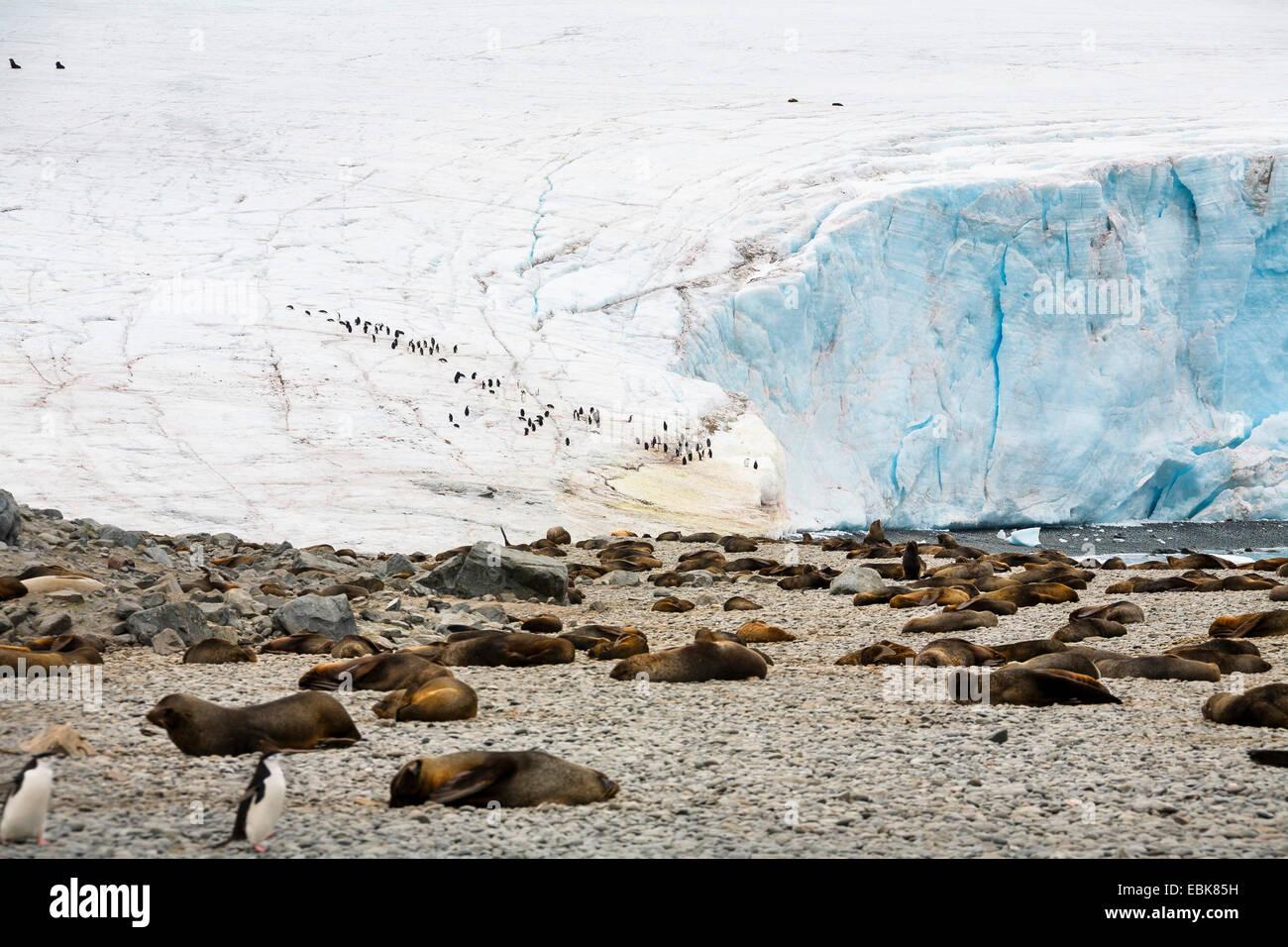 Antarctic fur seal (Arctocephalus gazella), colony at the foot of a glacier, Antarctica, South Orkneys, Laurie Island - Stock Image