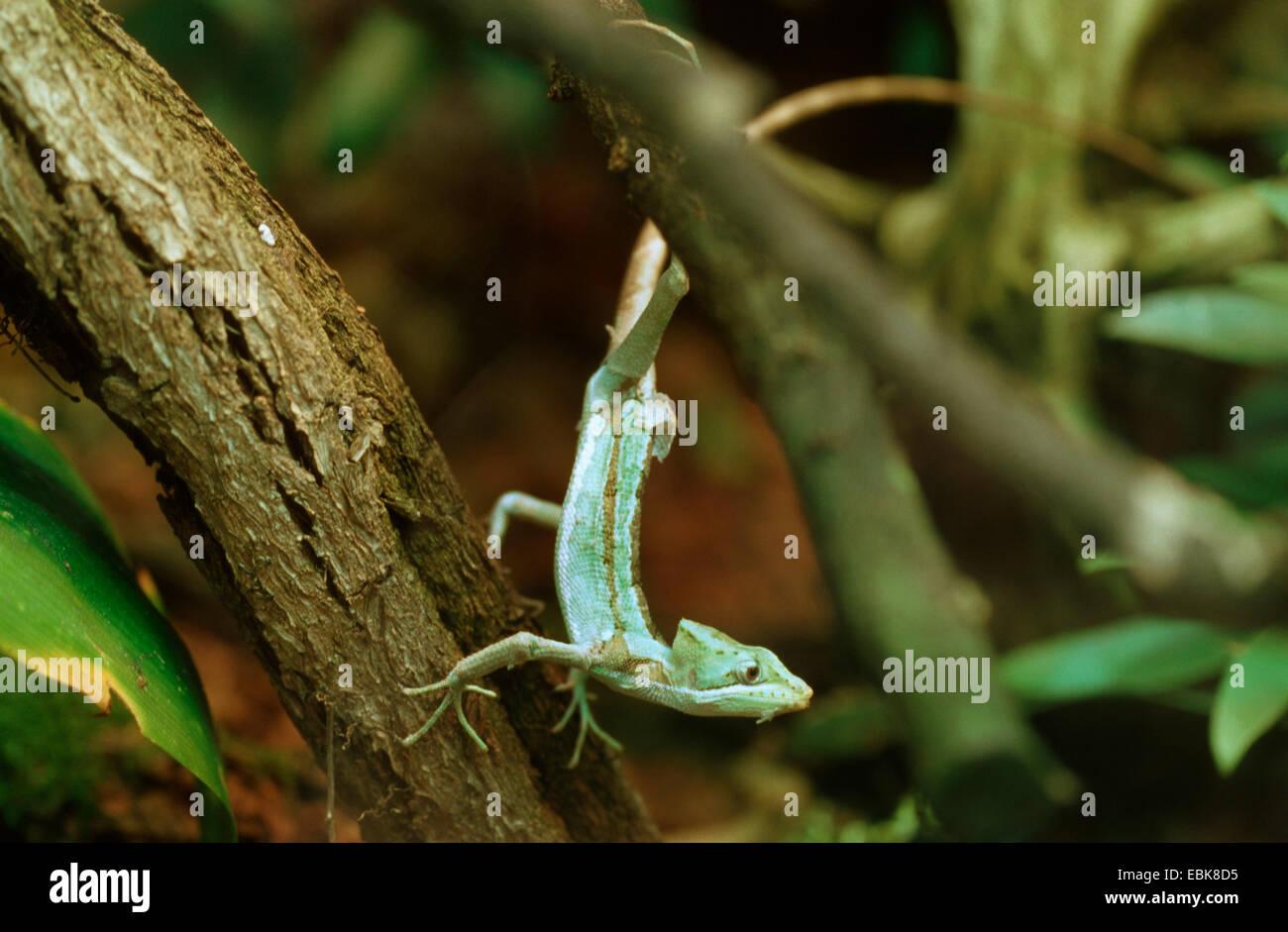 serrated casquehead iguana (Laemanctus serratus), at a stem - Stock Image