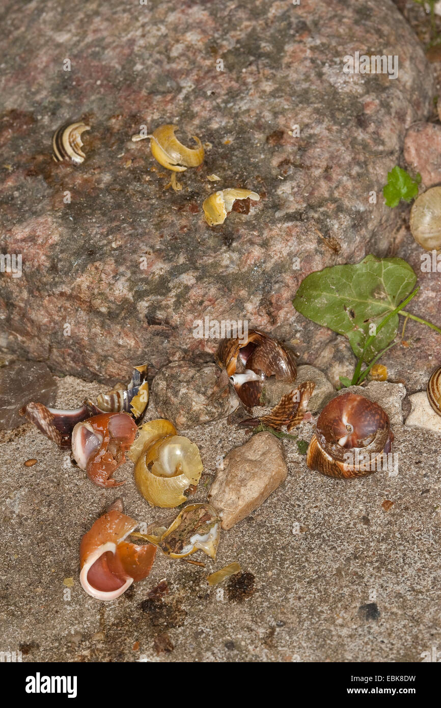 song thrush (Turdus philomelos), track of a Song trush, smashed snails, Germany - Stock Image