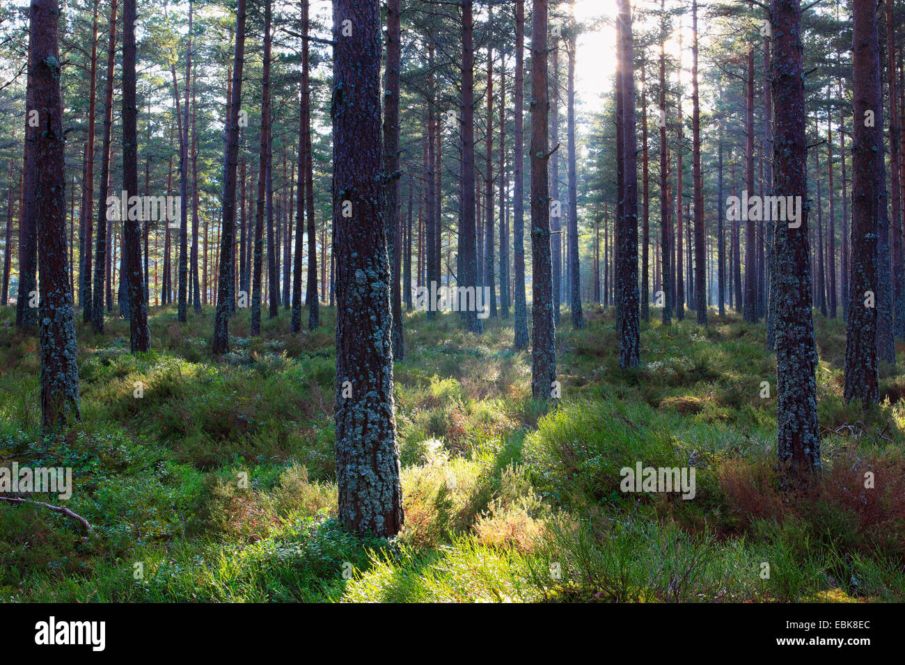 Scotch pine, scots pine (Pinus sylvestris), pine forest in morning light, United Kingdom, Scotland, Cairngorms National - Stock Image