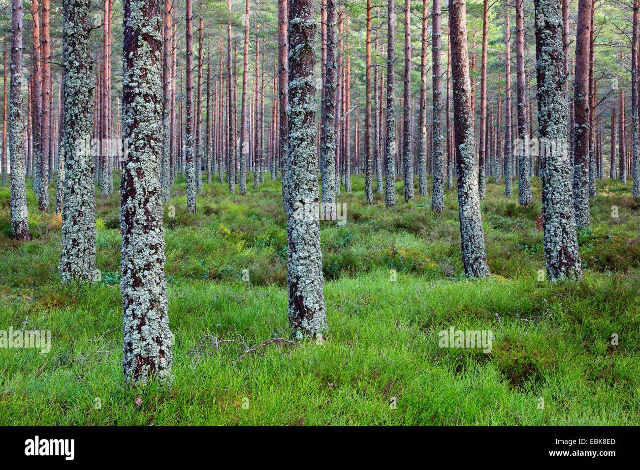 Scotch pine, scots pine (Pinus sylvestris), pine forest, United Kingdom, Scotland, Cairngorms National Park - Stock Image
