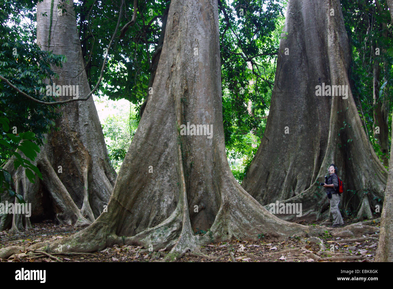 tropical tree with buttress roots, Thailand, Khao Sok National Park - Stock Image