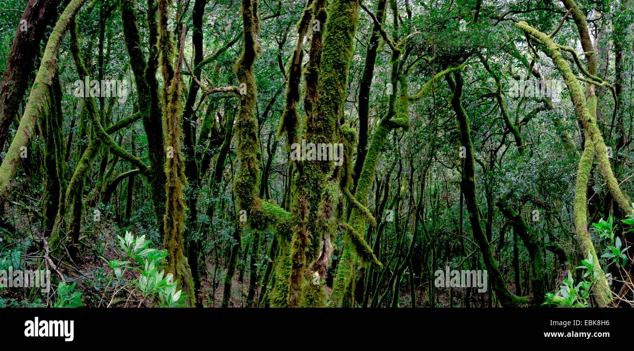 laurel forest in the mountains of Gomera, Canary Islands, Gomera, Garajonay National Park - Stock Image