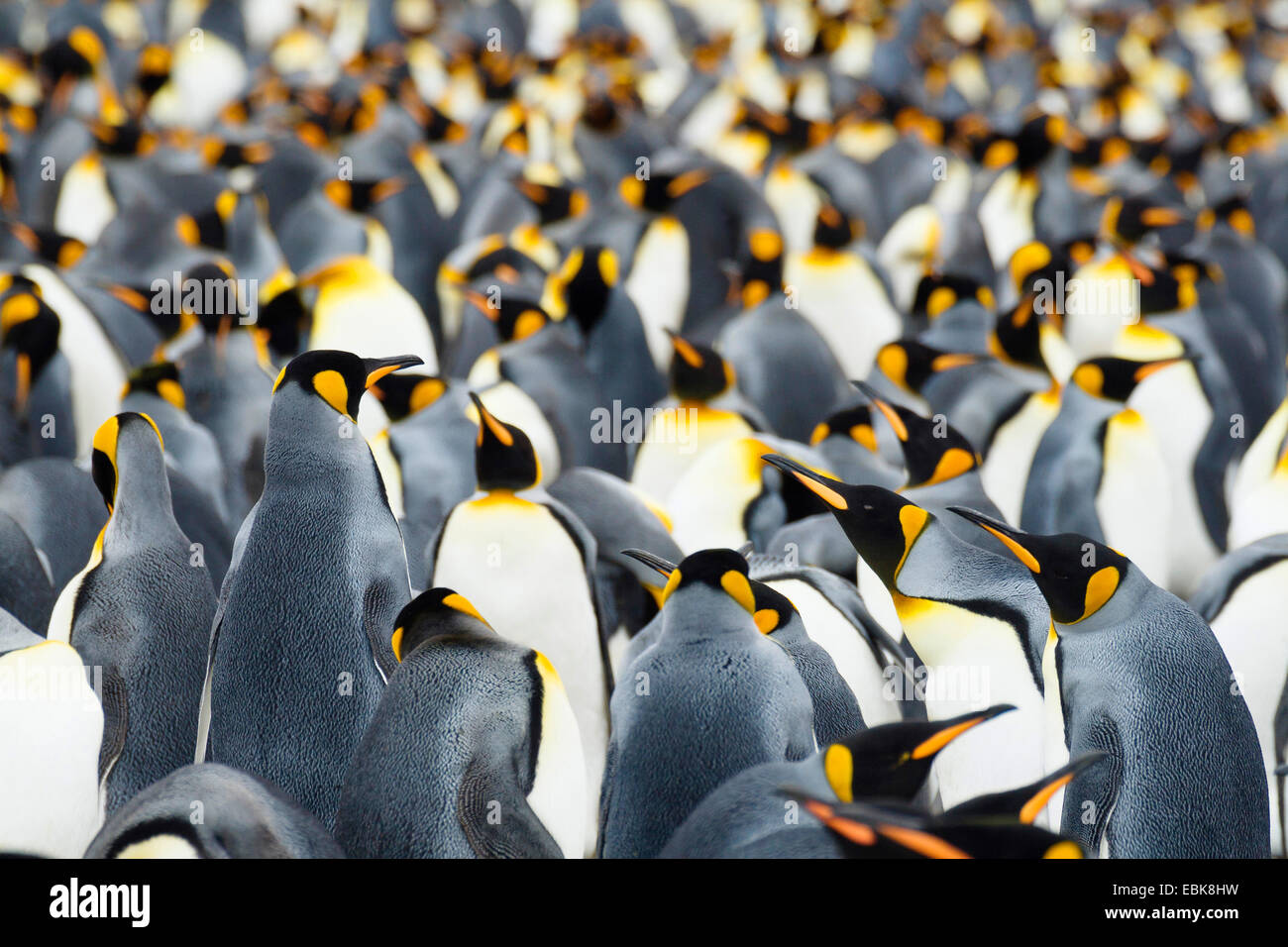 king penguin (Aptenodytes patagonicus), breeding colony, Suedgeorgien, Salisbury Plains Stock Photo