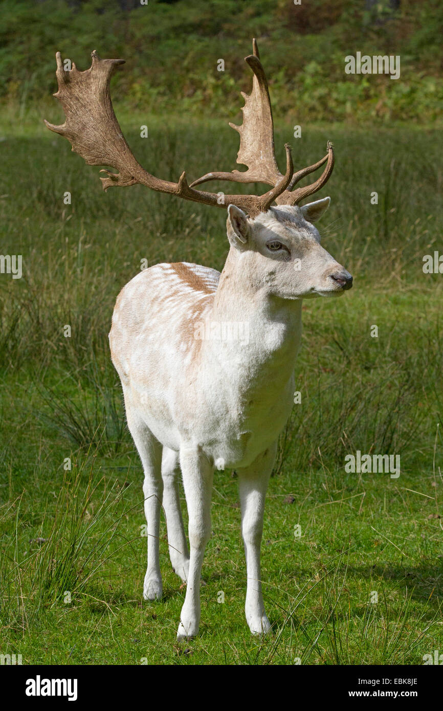 fallow deer (Dama dama, Cervus dama), white morphe of a stag - Stock Image