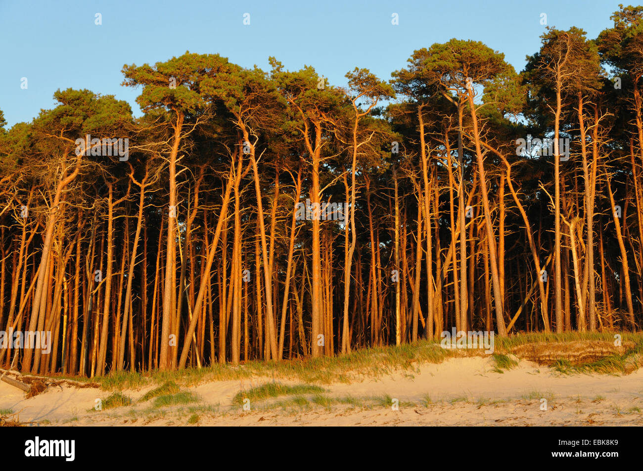 Scotch pine, scots pine (Pinus sylvestris), dune and pine forest, Germany, Mecklenburg-Western Pomerania, Nationalpark Stock Photo