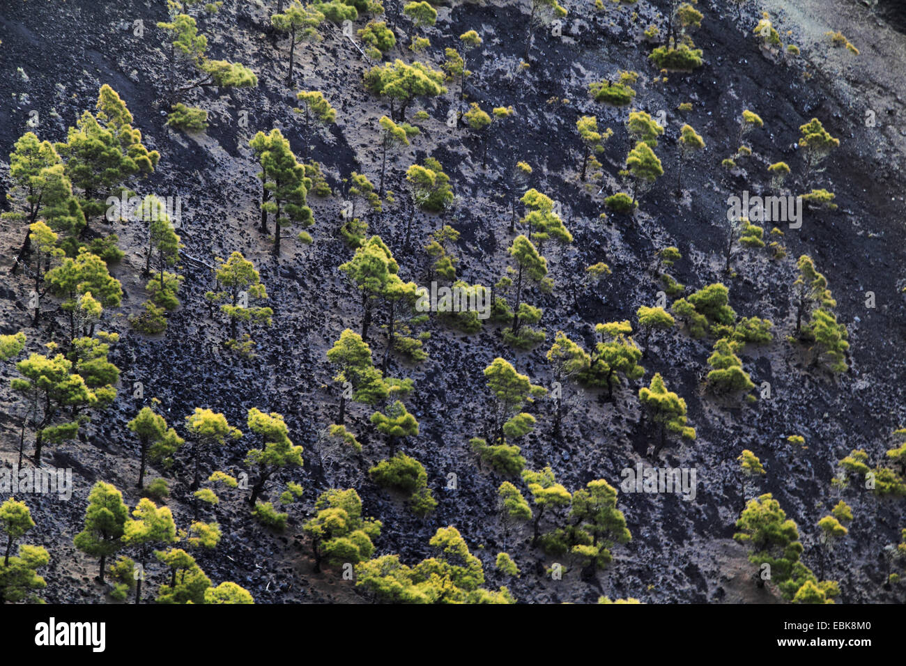 Canary pine (Pinus canariensis), pines growing in the crater, Canary Islands, La Palma, Vulkan San Antonio - Stock Image