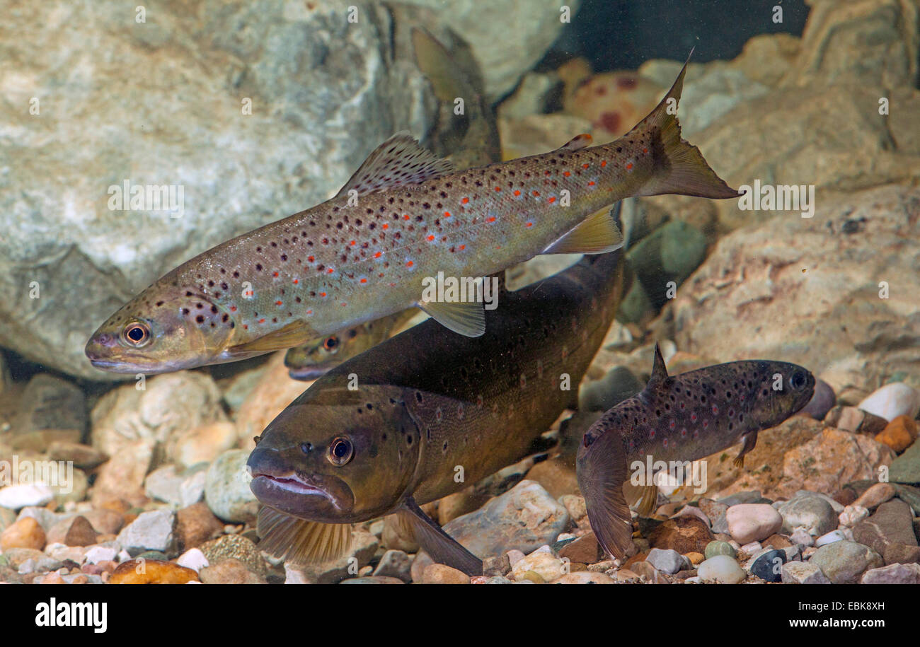brown trout, river trout, brook trout (Salmo trutta fario), three fishes swimming over water ground covered with - Stock Image