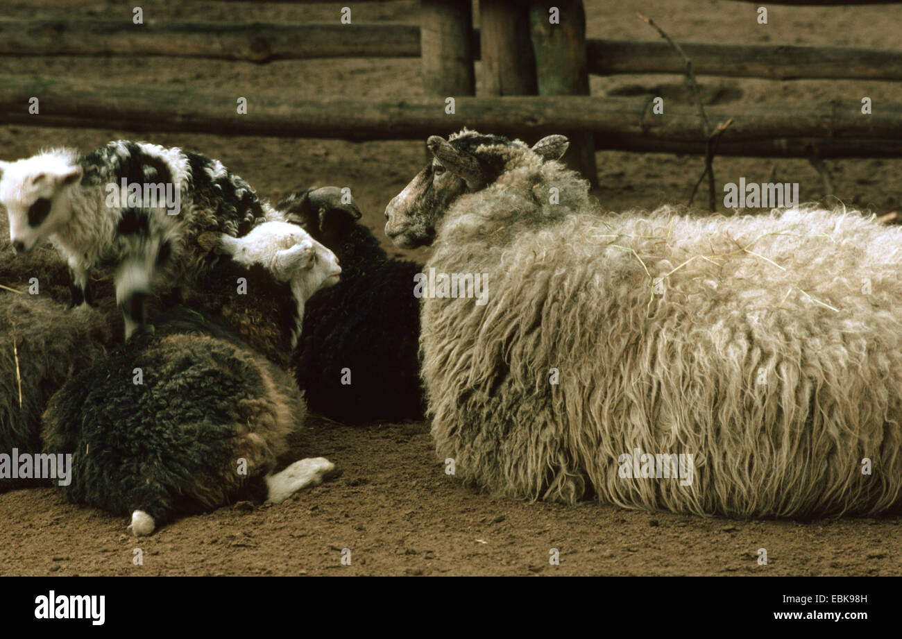 Gotland, Gotland Sheep Gotland Pelt  (Ovis ammon f. aries), group in sheepcote - Stock Image