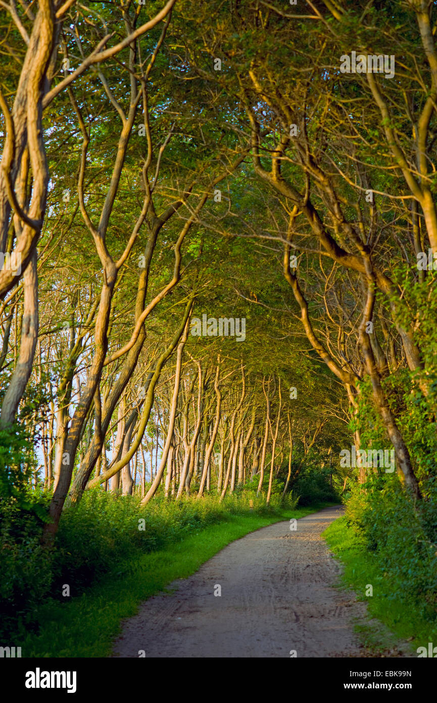 footpath between rows of trees on the island Poel, Germany, Mecklenburg-Western Pomerania, Wismar - Stock Image