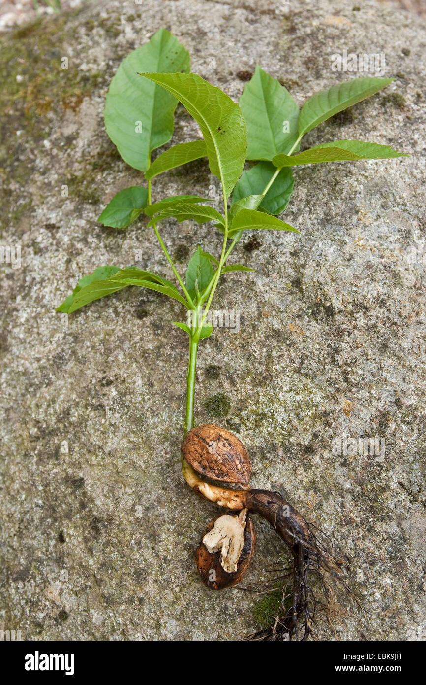 Walnut Seedling Stock Photos & Walnut Seedling Stock Images