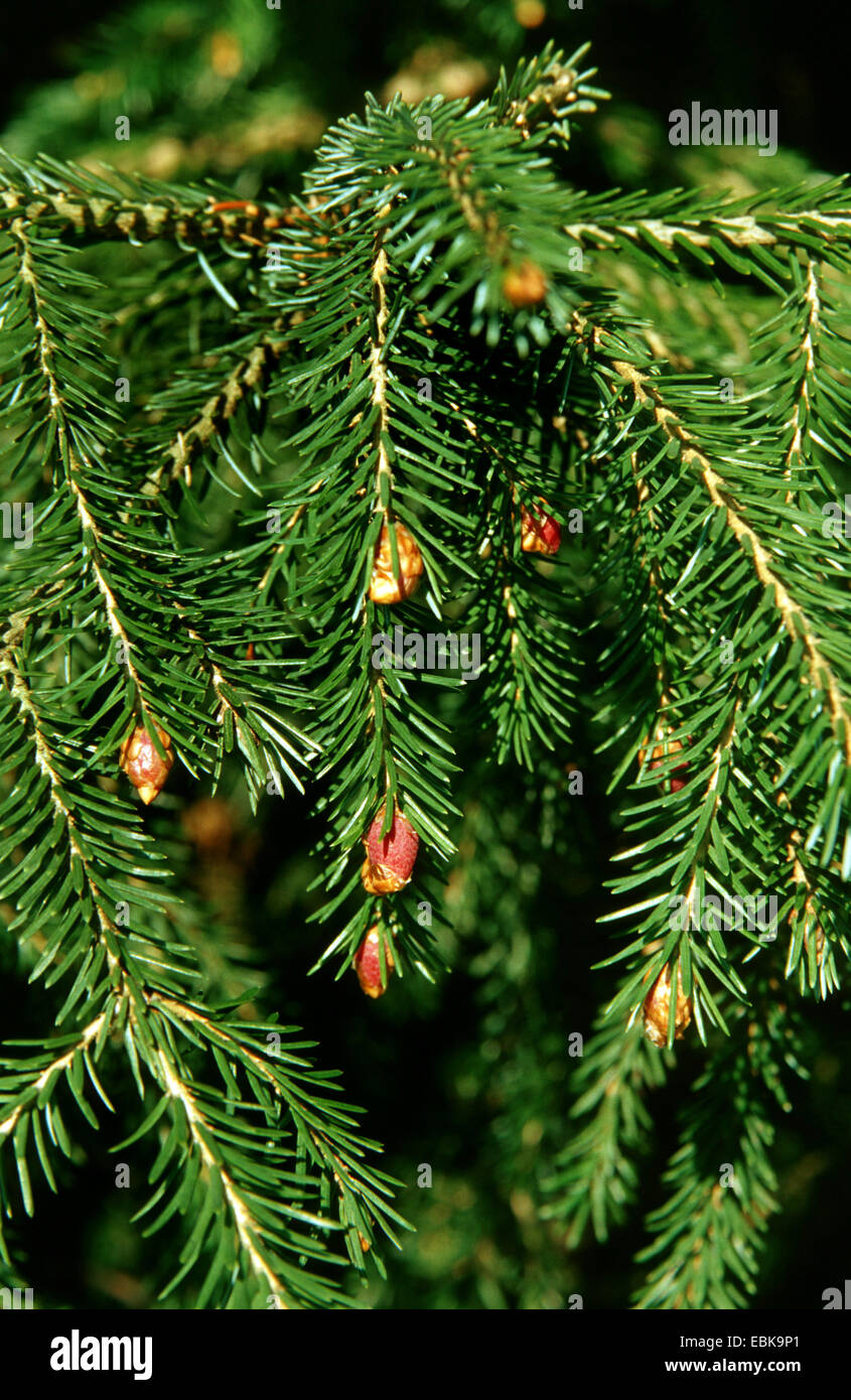 Likiang spruce, Lijiang spruce (Picea likiangensis), branches with male flowers - Stock Image