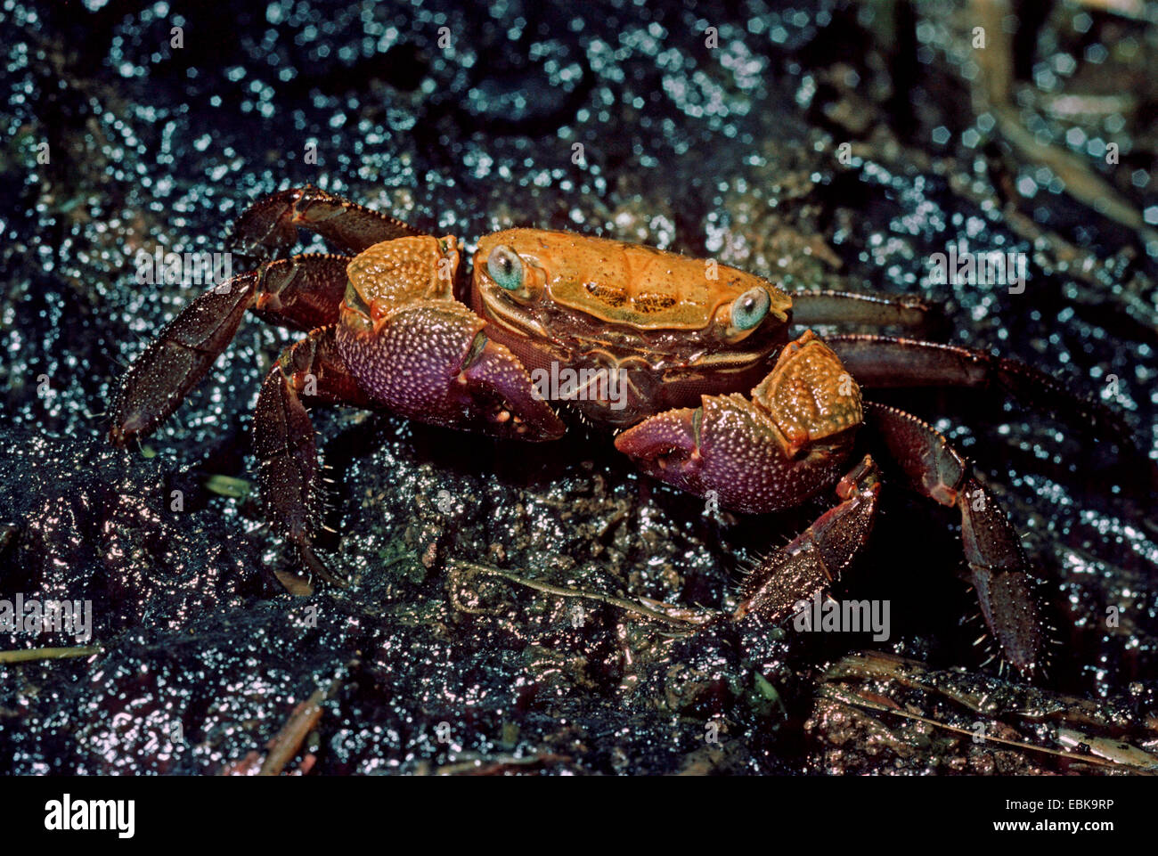 Sesannid crab (Bresedium brevipes), on the beach - Stock Image