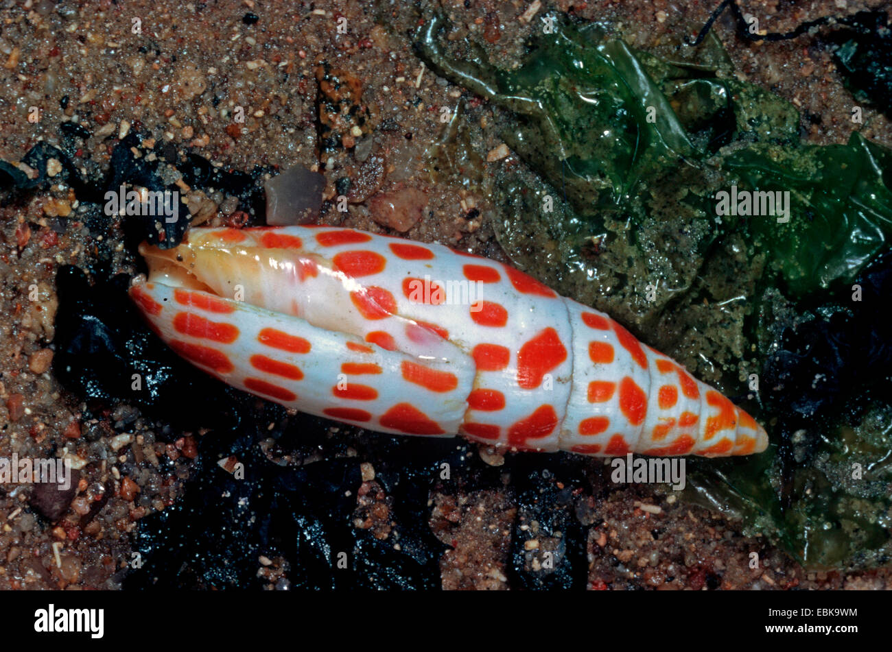 episcopal mitre, Episcopal miter (Mitra mitra, Mitra episcopalis), lying in the sand among algae - Stock Image