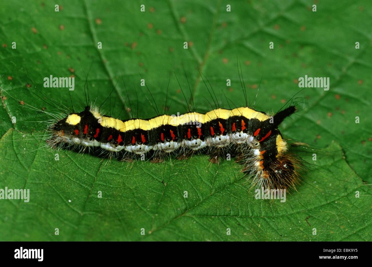 grey dagger (Acronicta psi), caterpillar on leaf, Germany - Stock Image