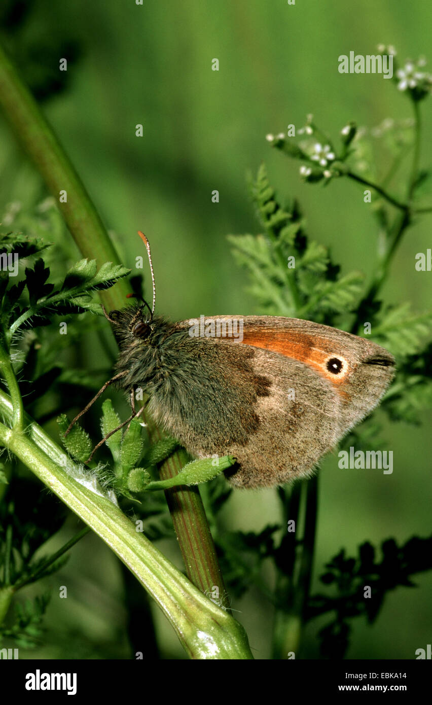 small heath (Coenonympha pamphilus), imago on twig, Germany - Stock Image