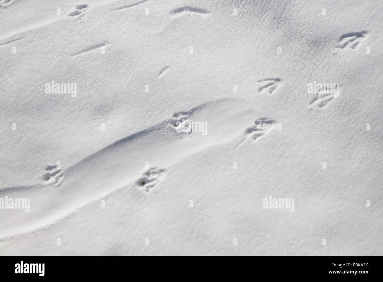 adelie penguin (Pygoscelis adeliae), tracks of a penguin gliding on the belly , Antarctica - Stock Image