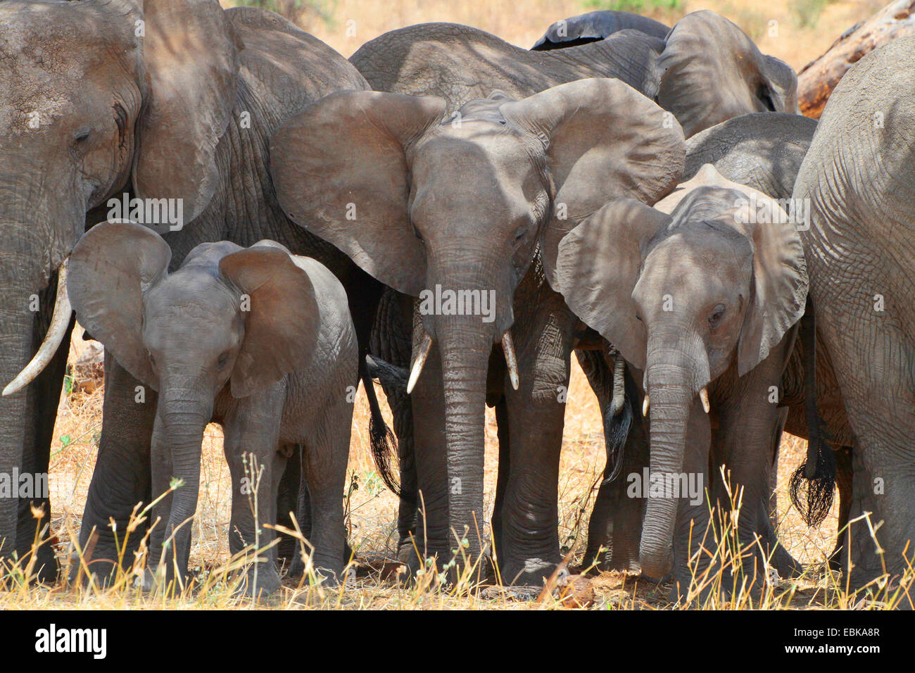 African elephant (Loxodonta africana), group with young elephants standing crowded together as a protection against - Stock Image