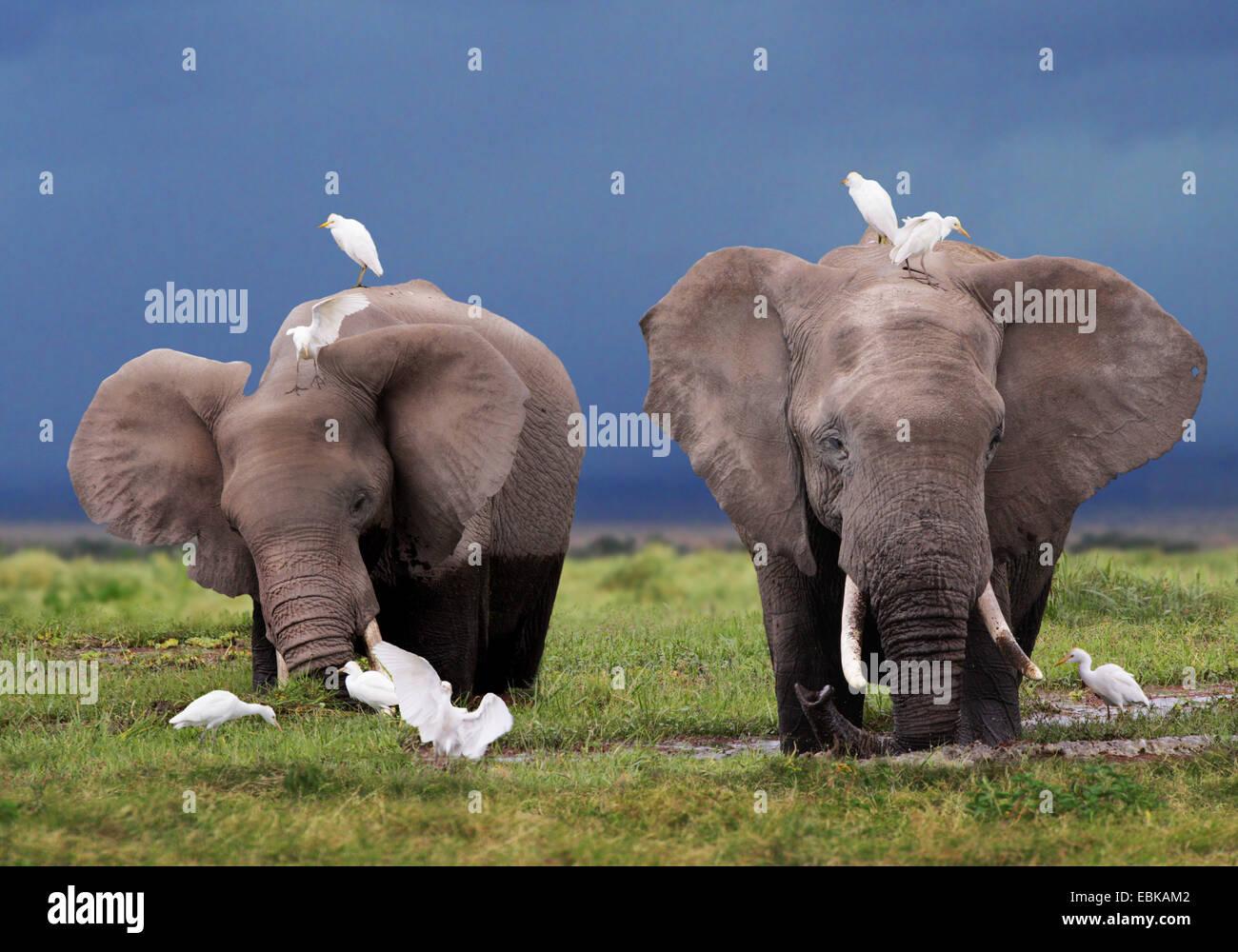 African elephant (Loxodonta africana), two elephants at feeding in swamp, Kenya, Amboseli National Park - Stock Image